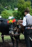 Folkloristic event with cows of Pinzolo stock images