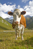 Cow in the valley Teischnitz Stock Photo