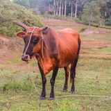 Cow in the valley of viñales stock photography