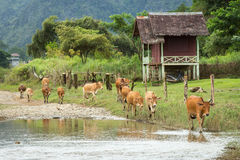 Cow in Vang Vieng, Laos. Cow and Naw Song river in Vang Vieng, Laos Stock Photo