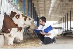 Cow vet. Erinary, vet working at the barn stock photo