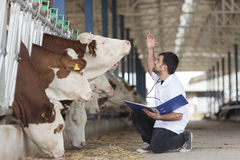 Cow vet. Erinary, vet working at the barn stock photos