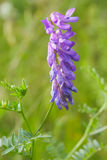 Cow vetch Royalty Free Stock Photos