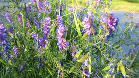 Cow vetch Royalty Free Stock Image
