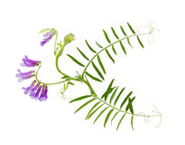 Cow Vetch Wild Flower stock photography