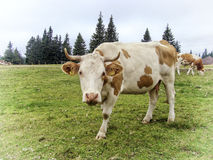 Cow view. Cute cow, caught in the camera lens during grazing Royalty Free Stock Photography