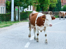 Cow in the village Royalty Free Stock Photography