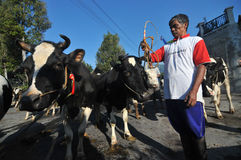 Cow village in Boyolali, Indonesia. Rancher herding his cattle when will be sold in Boyolali, Central Java, Indonesia Stock Image
