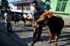 Cow village in Boyolali, Indonesia. Rancher herding his cattle when will be sold in Boyolali, Central Java, Indonesia Stock Photos