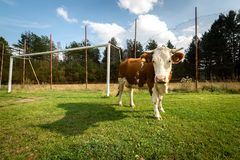 Cow on a football pitch royalty free stock photo