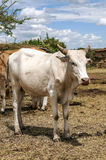 Cow in village  Royalty Free Stock Images