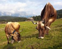 Cow vith sexten dolomiten and cottage Royalty Free Stock Photos