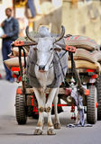 Cow and wagon in India Royalty Free Stock Photography
