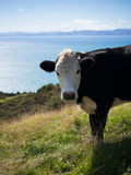 Cow @ Waiti Bay, Auckland, New Zealand. Cow admiring the view at the Waiti Bay to Orere Point costal walk in Auckland , New Zealand Stock Photo