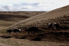 Cow walk. Cows on desert Stock Photography
