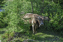 The cow on a walk. On a hot summer day, high in the Carpathian mountains, cows graze in the forest shade Royalty Free Stock Photography