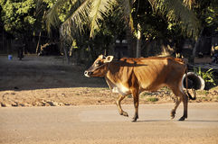 Cow Walk Road Country Thailand Stock Images