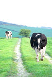 Cow walking Royalty Free Stock Images