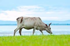 A Cow Walking Across The Lake Shore Stock Photos