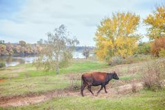 Cow walking alone. Rustic scenery with walking cow Stock Photo
