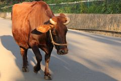 Cow walking in the street. Cow walking along the main street in Ooty. Indians allow their cows to walk freely during the day and they return home at night stock images