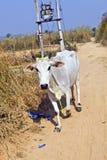 Cow walking along a trail Stock Photo