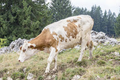 Cow walking on an alpine pasture Royalty Free Stock Photography
