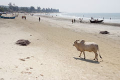 Cow walking on the beach Royalty Free Stock Photo