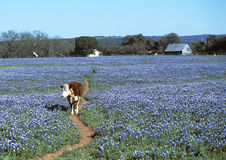 Cow walking in Blue Bonnets. Single Cow walking down cow path in the middle of a large field of Blue Bonnets with a barn and house in the distant background Stock Images