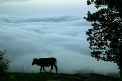 Cow walking in a cloudy day Stock Image