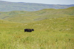 Cow walking in the grass field. At Carrizo Plain, California, U.S.A Royalty Free Stock Photo
