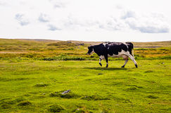 Cow walking left on grass under cloudy sky Stock Photography