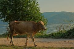 Cow walking on a path on the embankment of river Danube. With mountains in the background in the Romanian countryside - Bos Taurus stock image