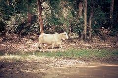 Cow walking Stock Photo