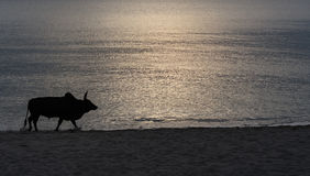 Silhouette cow fight Royalty Free Stock Photography