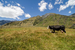 Cow walks on a green hill. With mountains at the background Royalty Free Stock Images