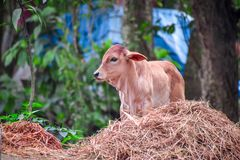 The cow. royalty free stock images