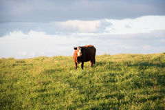 Cow by the fileds Royalty Free Stock Photos