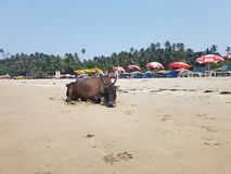 Cow on warm sand. The cow is heated on the warm sand near the sea Royalty Free Stock Photography