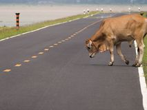 Cow was Tied Rope across The Street Royalty Free Stock Images