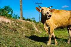 The cow was to harness. Royalty Free Stock Photos