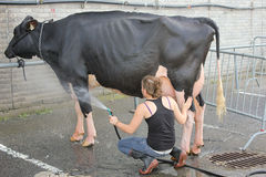 Cow Wash. Stock Photo