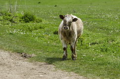 The cow watch with attention Stock Photography