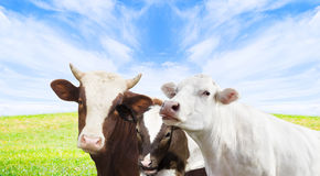 Cow watching Stock Photography