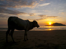 Cow watching the sunset Royalty Free Stock Photography