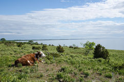 Cow watching the view at a calm coastal pastureland Royalty Free Stock Photo