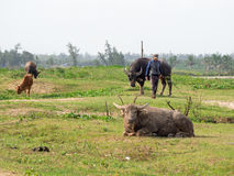 Cow, Water buffalo and a farmer at a rice field in Vietnam. Water buffalo and a farmer at a rice field in Vietnam, 2017 Stock Photos