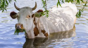 A cow in the water, chewing the young branches of a tree close up. A cow in the water, chewing the young branches of a tree close-up Stock Photo