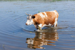Cow in the water. Cow moving in the water Stock Images