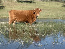 Cow in water Stock Images